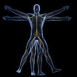 Vitruvian man - nervous system Stock Photo