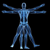 The vitruvian man - skeleton Royalty Free Stock Photos