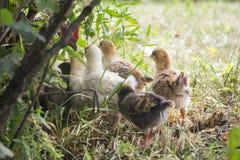 Vitryssland-Juli 3, 2016 höna kallade hennes fågelungar för att mata dem, hönor som samlades runt om moderhönan, feg matning dera Arkivbilder