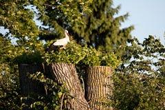 VitStork (Ciconiaciconia) Arkivfoton