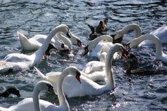 Vitswan på en lake Royaltyfri Bild