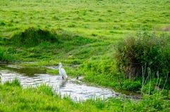 Vitt ägretthägeranseende i vatten Arkivfoto