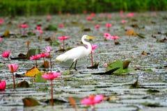 Vitt ägretthägeranseende på lotusblommablomningrosa färgerna Arkivbilder