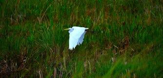 Vitt ägretthägerfågelflyg Royaltyfria Foton