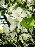 Vitt äppleträd Arkivbild