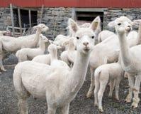 Vitt alpacalamm royaltyfri foto