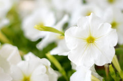 Vitt blomma för petunias Royaltyfria Foton