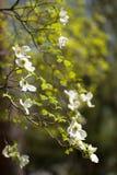 Vitt blomningskogskornellträd (Cornus florida) i blom Arkivbild