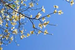 Vitt blomningskogskornellträd (Cornus florida) i blom i solljus Fotografering för Bildbyråer