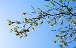 Vitt blomningskogskornellträd (Cornus florida) i blom i solljus Royaltyfria Bilder