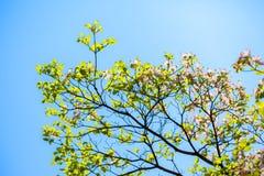 Vitt blomningskogskornellträd i blom i solljus Arkivbilder