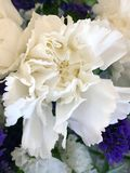 Vitt blomningslut upp arkivfoto