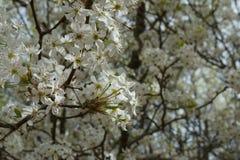 Vitt blomningträd Arkivbild