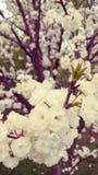 Vitt blomningträd i vår Fotografering för Bildbyråer