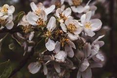 Vitt blomstra äppleträd med blommor, makrofoto arkivbild