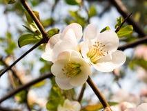 Vitt dekorativt blomstra för plommon Arkivfoton