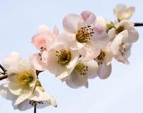 Vitt dekorativt blomstra för plommon Arkivbild