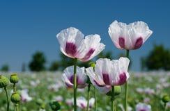 Vitt fält för opiumvallmo Fotografering för Bildbyråer