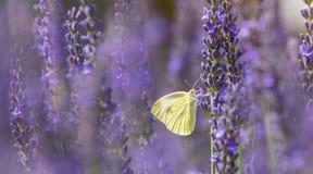 Vitt f?r k?l i den blommande lavendeln royaltyfri bild