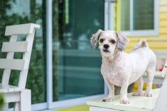 Vitt för Shih för kort hår anseende för hund tzu på terrassen royaltyfri fotografi