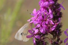 Vitt fjärilssammanträde på lilablomman Fotografering för Bildbyråer