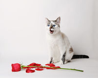 Vitt fluffigt blåögt kattsammanträde på en vit bakgrund i ett behagfullt poserar bredvid en röd ros och kronblad öppen mun Royaltyfria Bilder