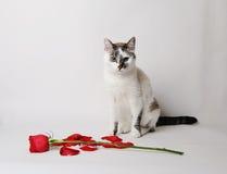 Vitt fluffigt blåögt kattsammanträde på en vit bakgrund i ett behagfullt poserar bredvid en röd ros och kronblad Royaltyfria Foton
