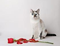 Vitt fluffigt blåögt kattsammanträde på en vit bakgrund i ett behagfullt poserar bredvid en röd ros och kronblad Arkivfoto