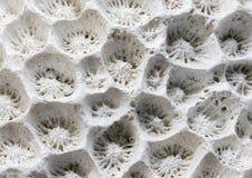 Vitt foto för koralltexturmakro Torr closeup för havskorallstruktur Abstrakt makrobakgrund Royaltyfria Foton