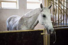 Vitt fullblods- hästanseende i stall och se kameran arkivfoton