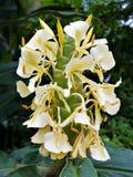 Vitt Ginger Flowers H Coronarium Royaltyfri Bild