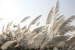 Vitt gräs Arkivbild