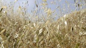 Vitt gräs som blåser i vinden lager videofilmer