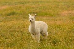Vitt gulligt behandla som ett barn alpaca som spelar över grönt exponeringsglas arkivbild