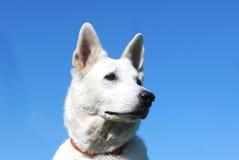Vitt hundhuvud Fotografering för Bildbyråer