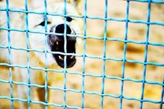 Vitt hundsammanträde bak ett blått galler arkivfoto