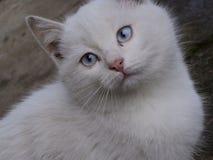 Vitt kattöga Royaltyfria Bilder