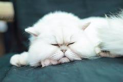 Vitt koppla av för katt Arkivfoto