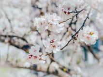 Vitt kors och defocused blommor som blommar trädet Aprikosblommor härlig springtime mörk paper vattenfärgyellow för forntida bakg Royaltyfria Foton