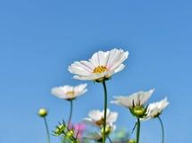 Vitt kosmos blommar på blå himmel Arkivfoton