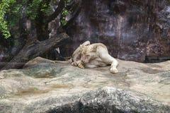 Vitt kvinnligt lejon på en stenig kulle i en parkera arkivfoto