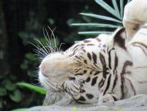 Vitt lägga för tiger Arkivbilder