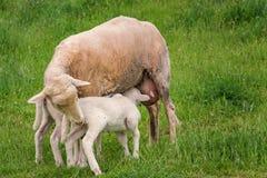 Vitt lamm med dess moder Arkivfoto