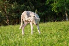 Vitt lamm som gör ren dess huvud - stå på gräset Arkivbilder