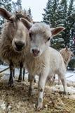 Vitt lamm som in upp ser till linsslutet Royaltyfri Bild