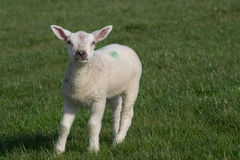 Vitt lammanseende på gräs som vänder mot kameran Arkivfoto