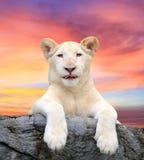 Vitt lejon Arkivfoton