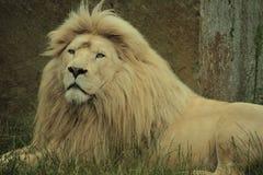 Vitt lejon Fotografering för Bildbyråer