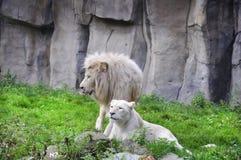 Vitt lejon Royaltyfria Bilder