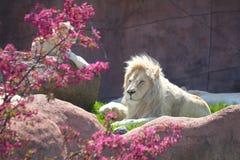 Vitt lejon royaltyfria foton